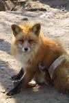 Red Fox 09