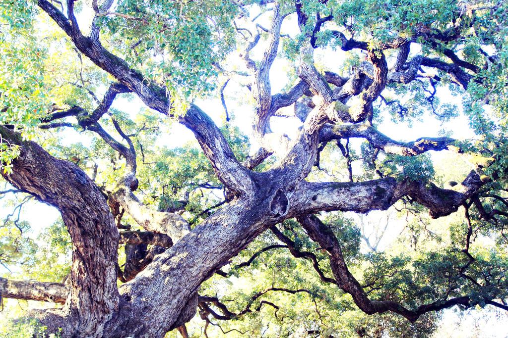 Ancient Oak Tree by Identifyed-Khaos