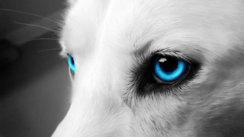 Wolf Eye Edit By Xblacknightsforestx On Deviantart