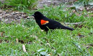 Red-Winged Black-Bird