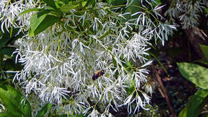 White Flowers and Queen Bee