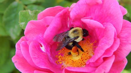 Bumble Bee in Flower by LindArtz