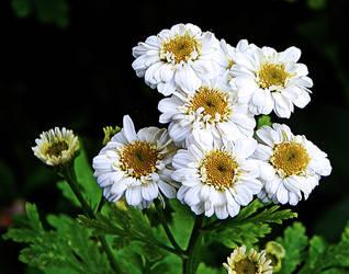 Flower White 2