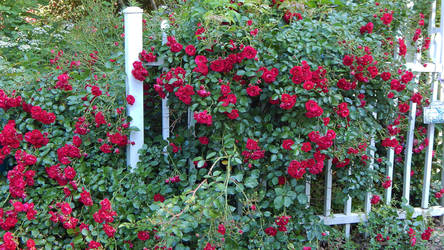 Red Roses on a White Picket Fence