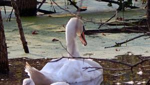 Swan Dreams 8