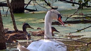 Swan Dreams 2