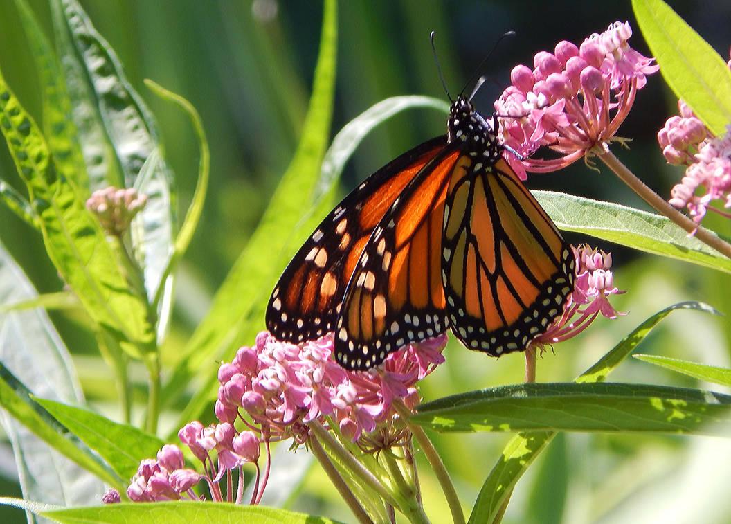 Monarch Butterfly 11