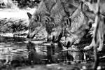 Summer wolves