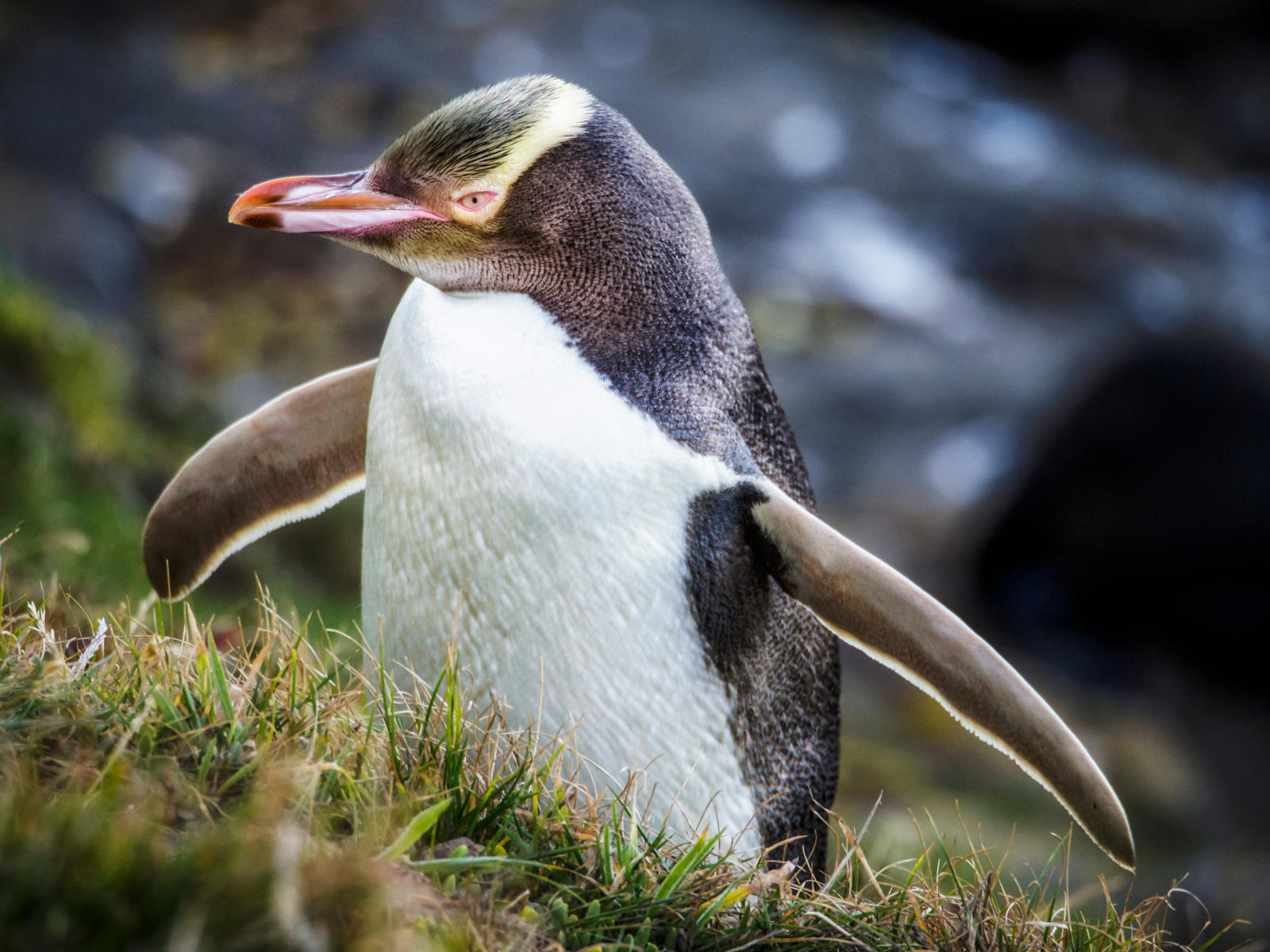 http://fc03.deviantart.net/fs71/i/2014/041/9/4/yellow_eyed_penguin_by_wolfblueeyes-d75xd14.jpg