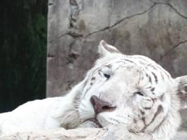 White tiger by Almoutasemz