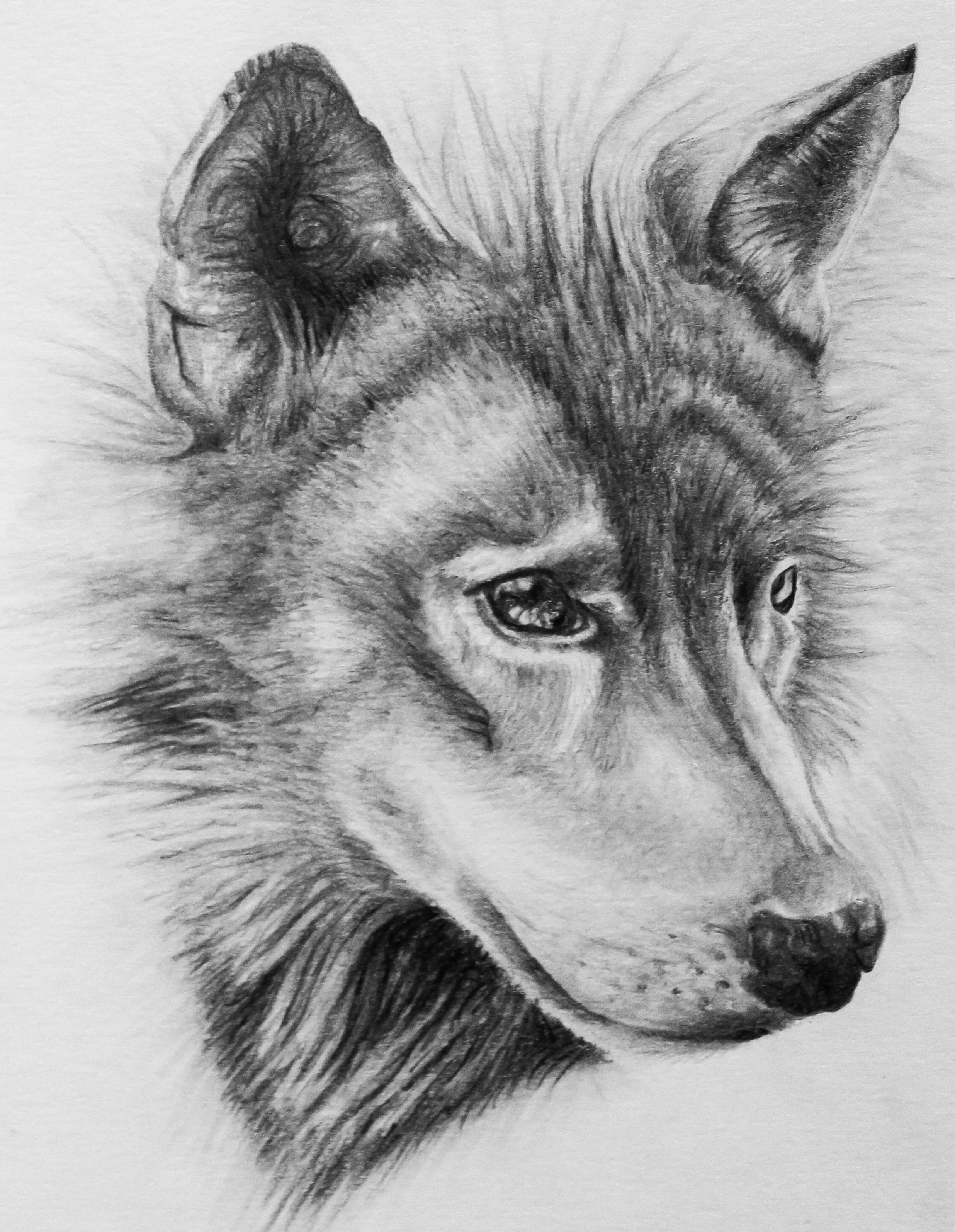 Uncategorized Drawing A Wolf wolf drawing by dannyhouse on deviantart dannyhouse