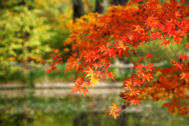 Acer japonicum by baronjungern