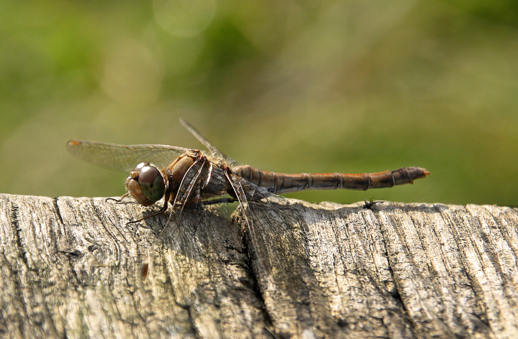Dragonfly by baronjungern
