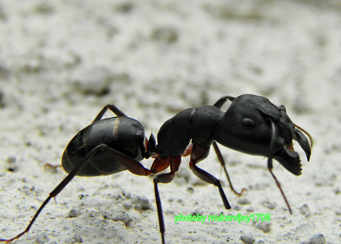 big black ant - photo #13
