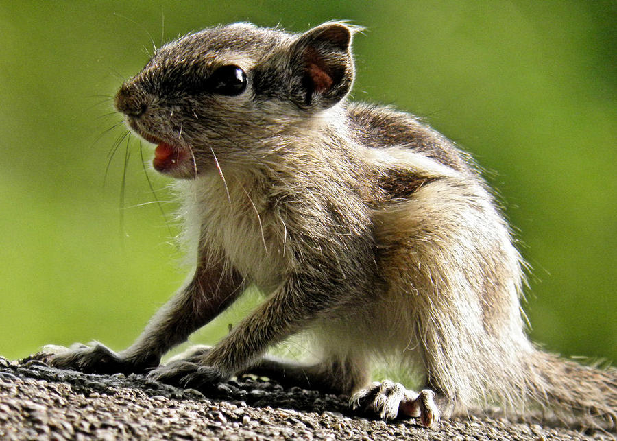 baby squirrel by kumarvijay1708