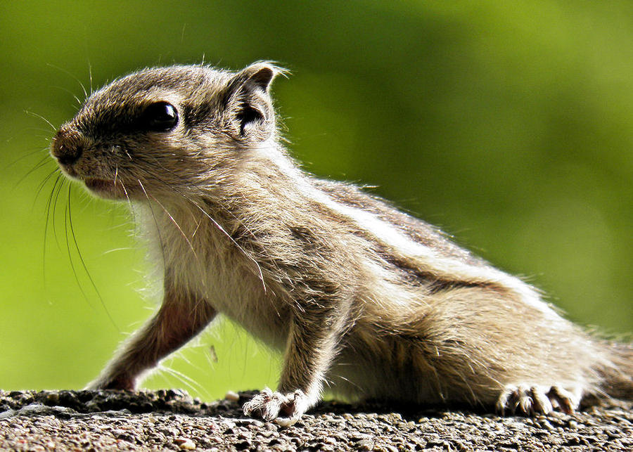 cute baby squirrel by