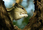 close up squirrel portrait by kumarvijay1708