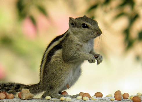 squirrel standing