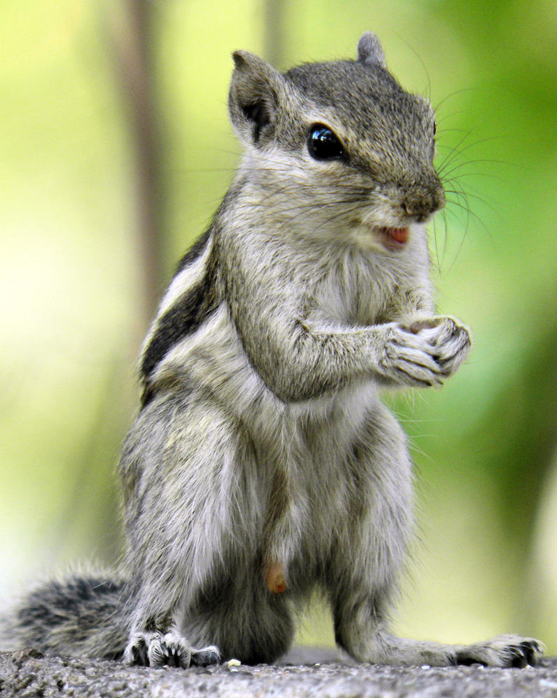 The Squirrel Smiling by kumarvijay1708