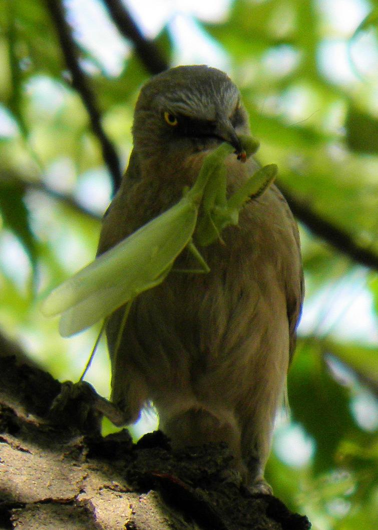 Jungle Babbler with a catch-praying matis by kumarvijay1708