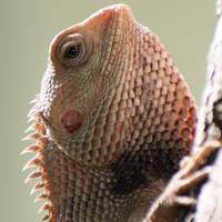 Garden Lizard (Close Up)