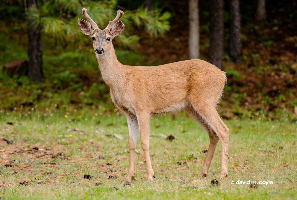 Posing Buck by DavidMCoyle