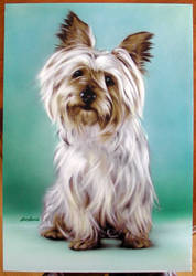 Airbrushed Silky Terrier