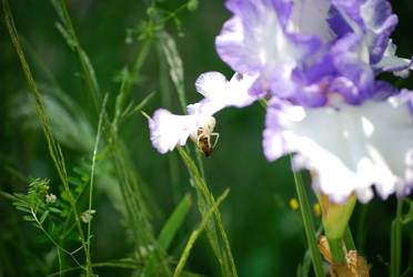 Iris Spider