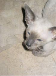 Bingley as a Kitten