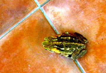 Cane Toad--Buffalo Toad