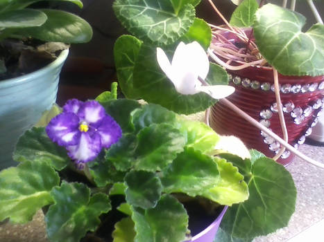 Purple African Violet and White Cyclamen Blooms