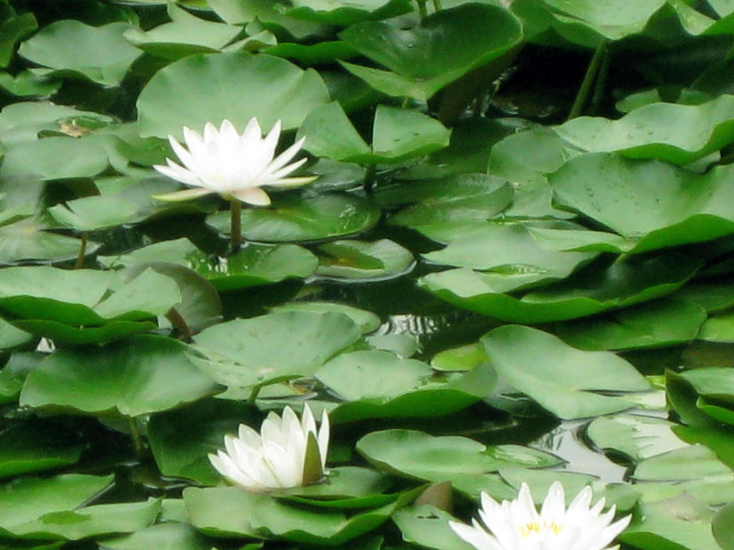 White lotus flower in summer by ceciliayanyang on deviantart white lotus flower in summer by ceciliayanyang izmirmasajfo