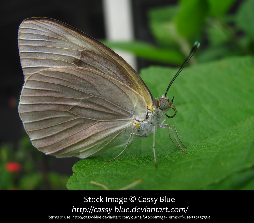 Great Southern White Butterfly Stock by Cassy-Blue
