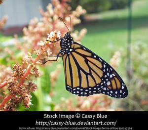 Monarch Butterfly Stock by Cassy-Blue