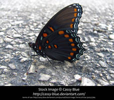 Red Spotted Purple Stock by Cassy-Blue