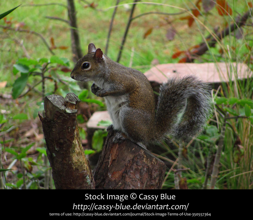 Squirrel Stock by Cassy-Blue