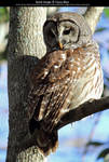 Barred Owl Stock 2 by Cassy-Blue