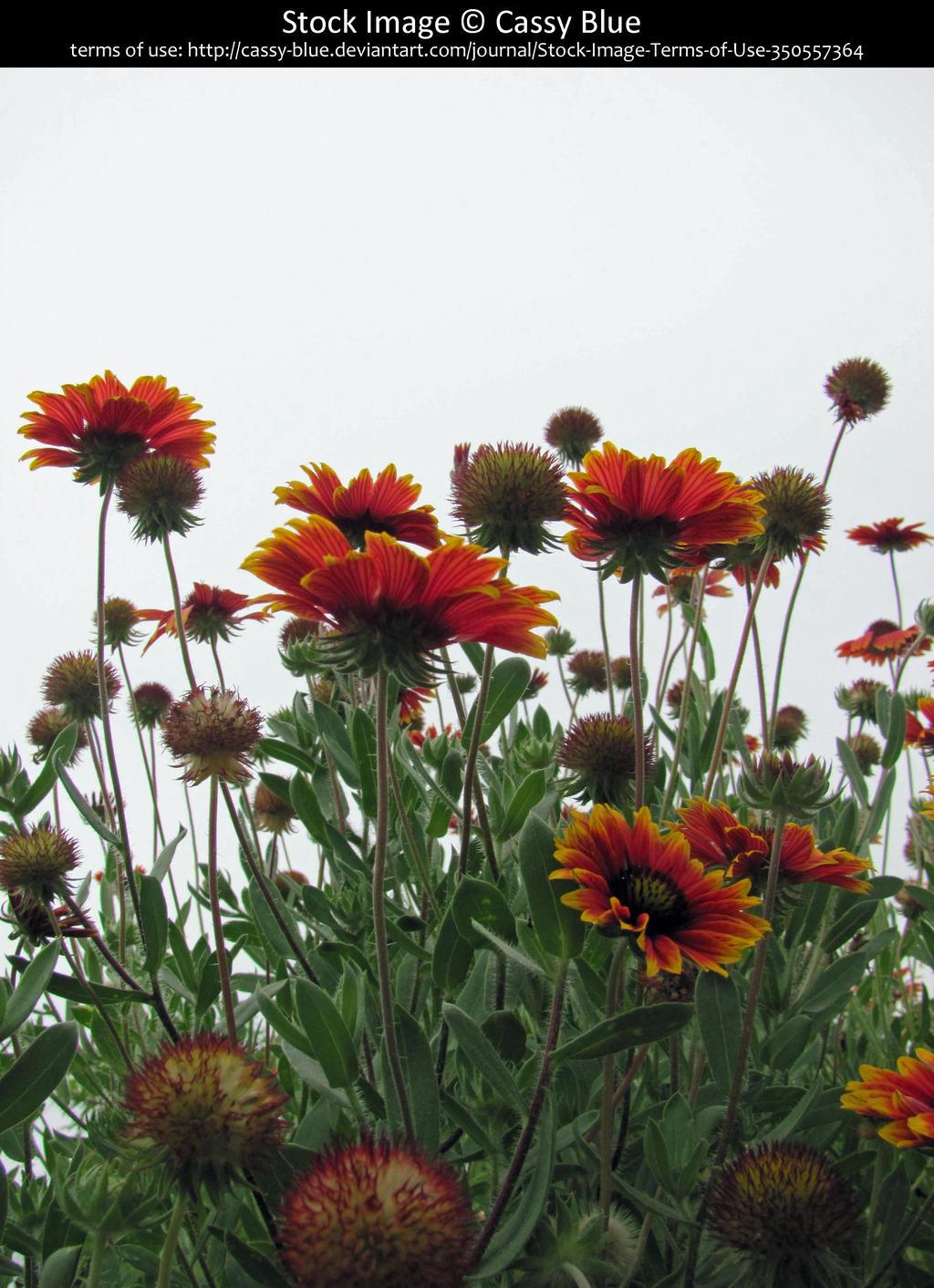 Blanket Flowers Stock by Cassy-Blue