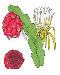 Dragonfruit Illustration