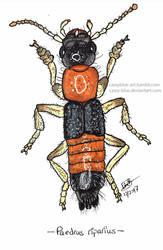 Rove Beetle 1