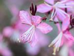 Pink Beeblossom