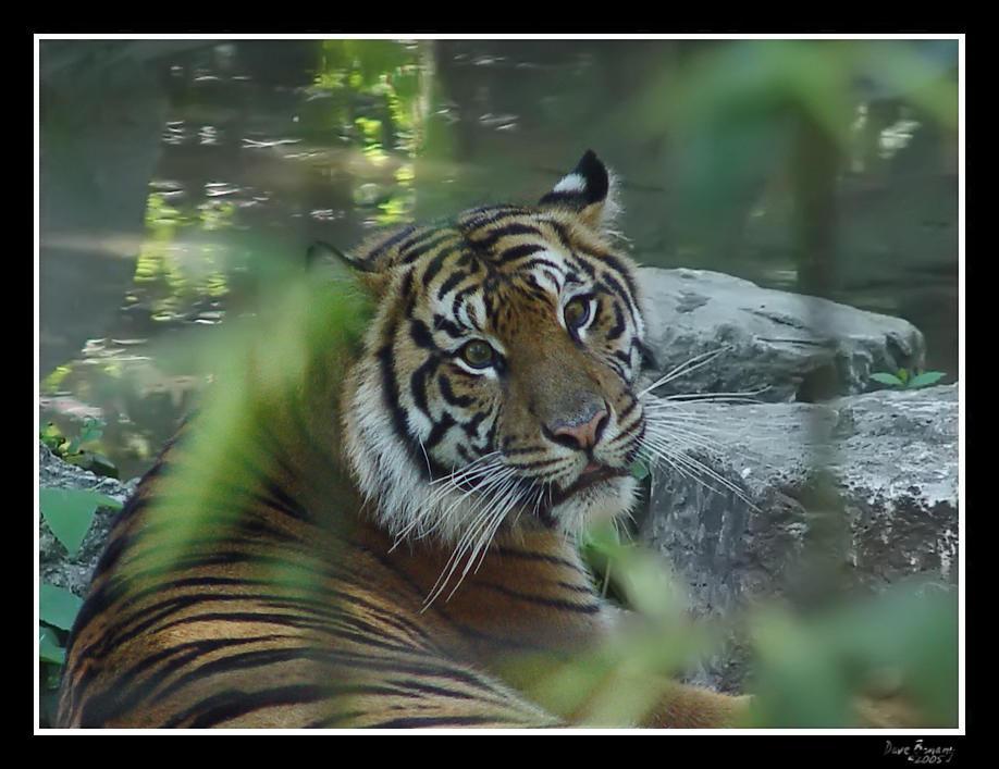 tiger look by rhyinsdad on DeviantArt