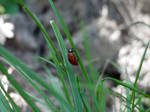 Ladybug by hAaRnTs