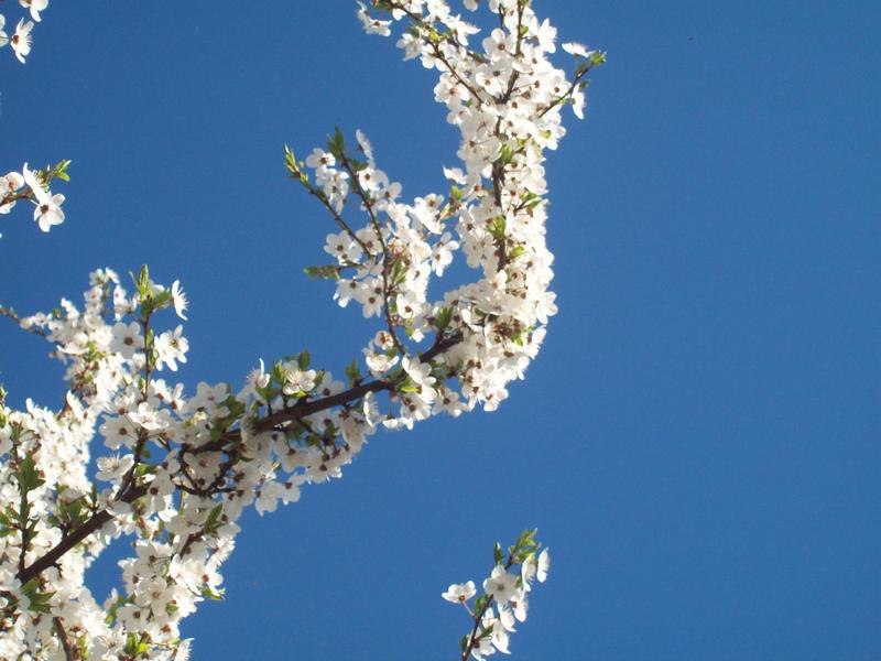 Cherry Tree by Unmei-no-kaioshin