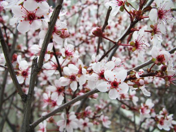 Prunus Cistena 01 by Sarinilli