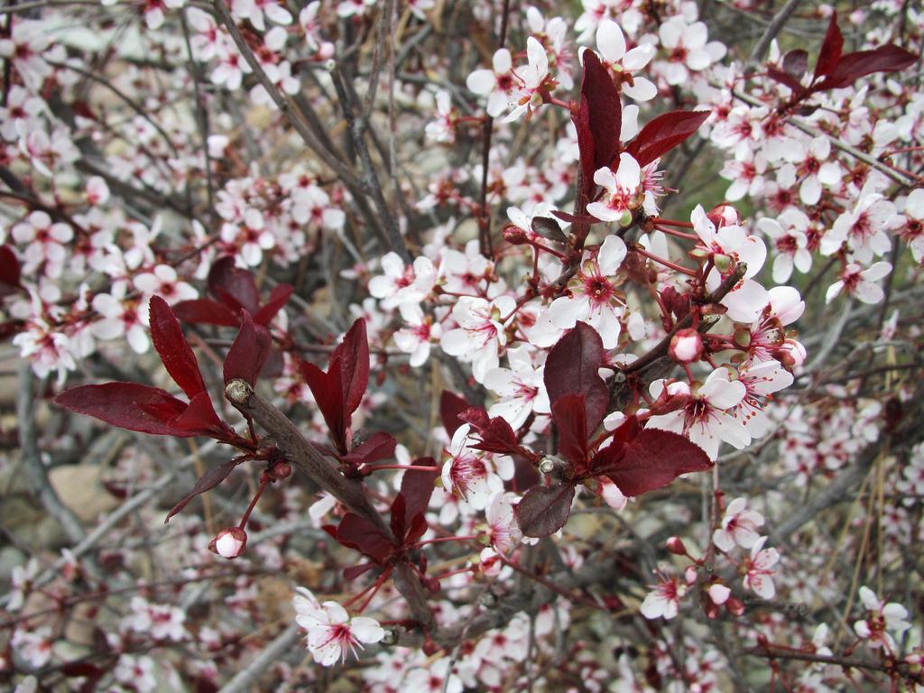 Prunus Cistena 02 by Sarinilli