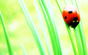 Coccinellidae by phranzee