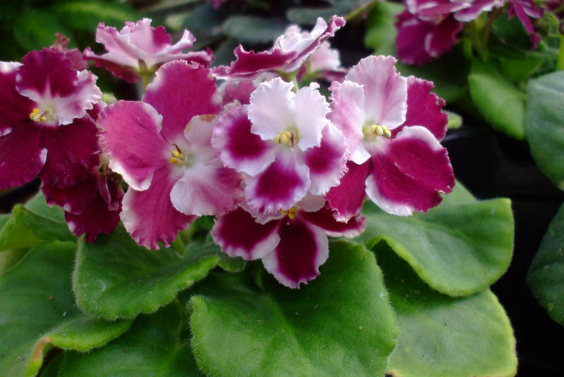 White and magenta african violets by EruwaedhielElleth on ...