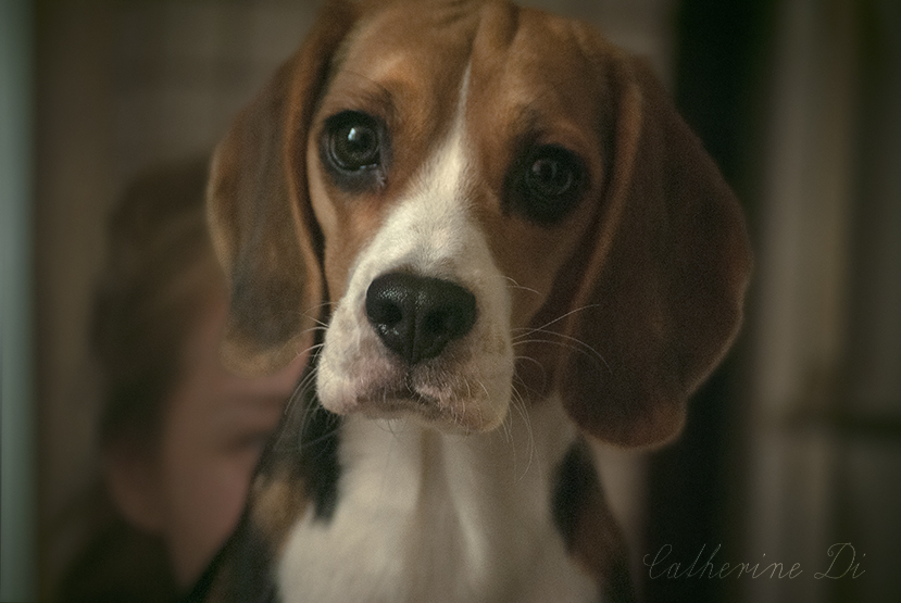 Cute beagle says hello! by Catherine-Di
