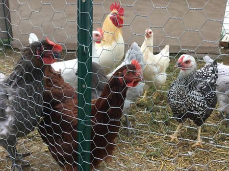 My chickens!